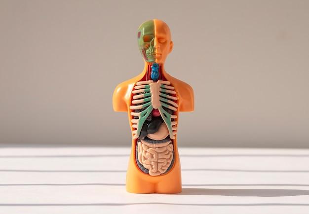 D menschliches modell mit inneren organen innerhalb des medizinischen anatomischen konzepts
