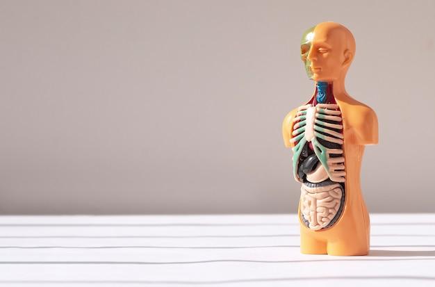 D menschliches modell mit medizinischen anatomischen konzeptanatomiefahnen der inneren organe mit kopienraum für text