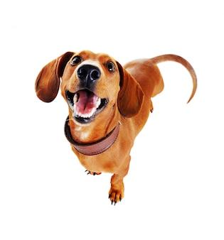 Dachshundhundedraufsicht verzerrt durch weitwinkel