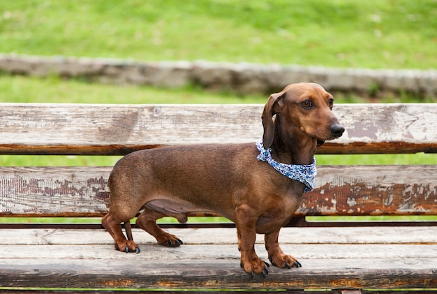 Dackel hund isoliert