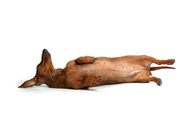 Dackel hund zur festlegung isoliert auf weißem hintergrund