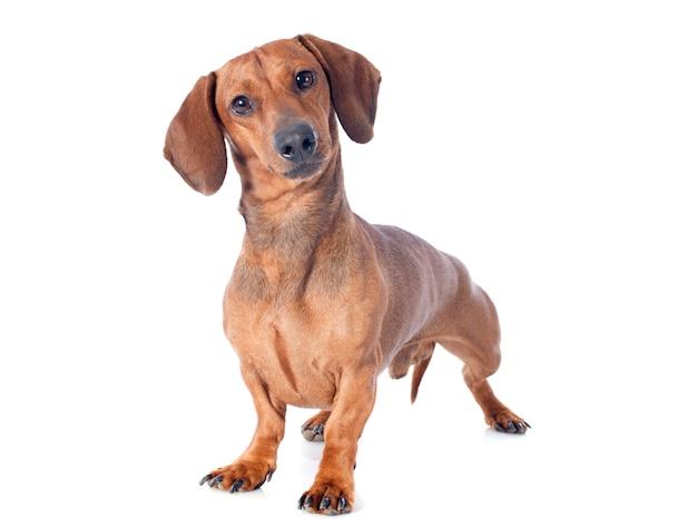 Dackel hund