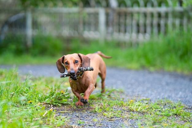 Dackel läuft entlang des grünen grases