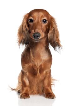 Dackel mit 1 jahr alt. hundeporträt isoliert