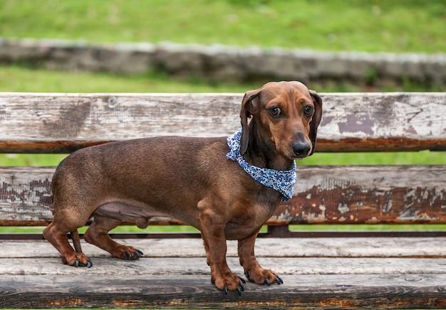 Dackelhund auf dem prk