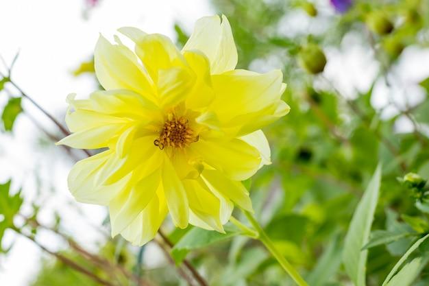 Dahlia gelbe und orange blumen im garten. blumenbeet mit dahlien. frische hochzeitsblumen, botanischer garten.