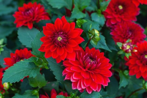 Dahlia pinnata rote blumen im herbstgarten, stock-foto