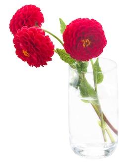 Dahlia rote blüten isoliert
