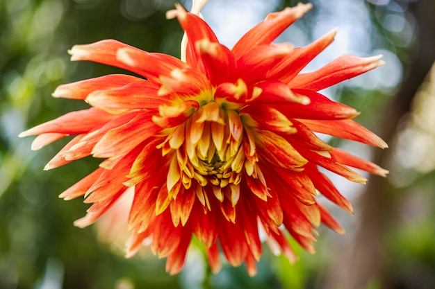 Dahlienblume im sommergarten. rote gelbe dahlienblume. hellrosa blume. makroaufnahmen - nahaufnahme.