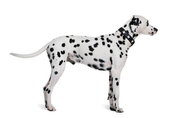 Dalmatiner, 2 jahre alt. hundeporträt isoliert