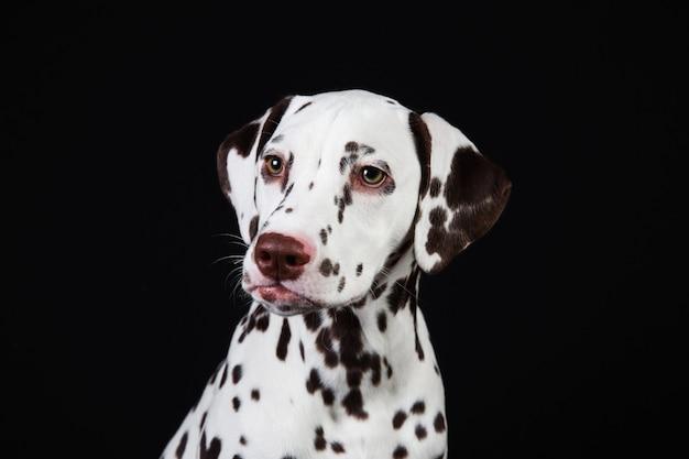 Dalmatiner sitzen, beiseite schauen, isoliert auf schwarz