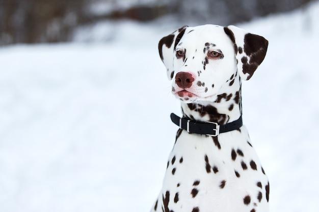 Dalmatinischer hund im winter im schnee. hund sitzt und posiert