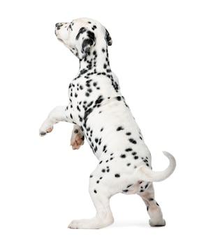 Dalmatinischer welpe, der vor einer weißen wand steht