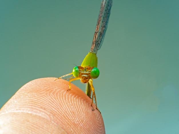 Damselfly-libelle oder enallagma-cyathigerum auf weichem hintergrund des blattes