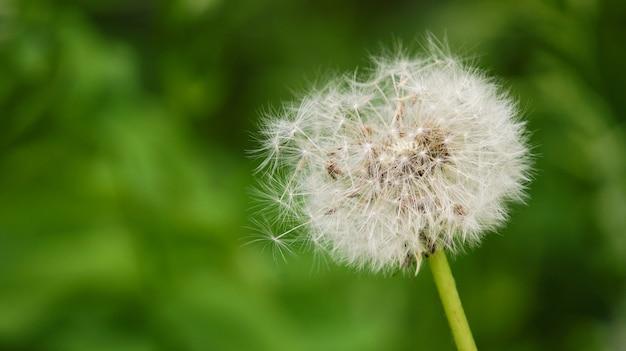 Dandlion auf dem grünen gras