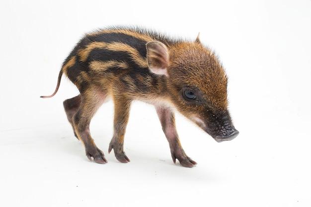 Das baby-band-schwein (sus scrofa vittatus), auch als indonesisches wildschwein bekannt