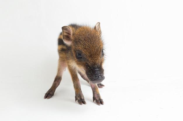 Das baby-band-schwein (sus scrofa vittatus), auch als indonesisches wildschwein bekannt Premium Fotos