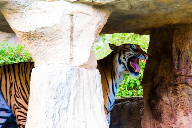 Das bild eines tigers, der mit offenem mund und zunge in der höhle eines großen felsens steht.