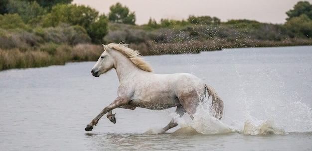Das camargue-pferd läuft wunderschön am wasser in der lagune entlang