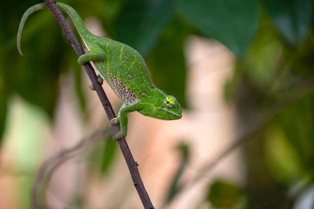 Das chamäleon von canopy oder wills ist in madagaskar in wunderschönen grünen farben endemisch