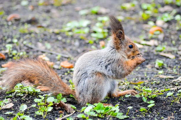 Das eichhörnchen nagt in einem minsker park an einer nuss.