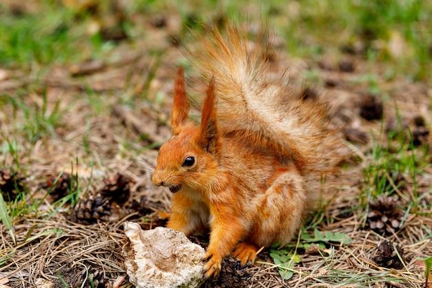 Das eichhörnchen schärft seine zähne gegen einen stein. eine ungewöhnliche tierart in ihrem natürlichen lebensraum.