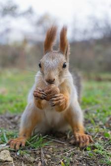 Das eichhörnchen wurde mit einer nuss behandelt