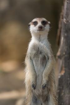 Das erdmännchen oder suricata suricatta ist ein kleiner fleischfresser aus der familie der mungos