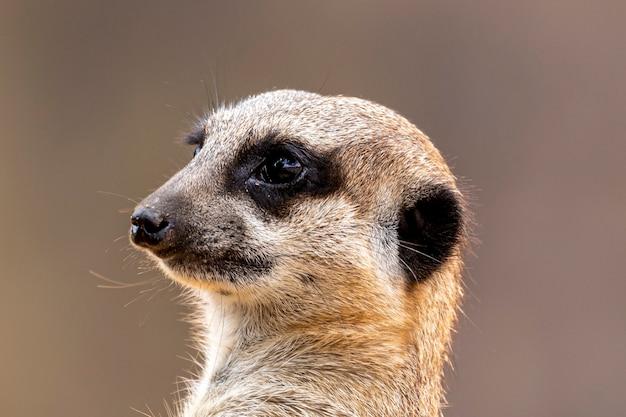 Das erdmännchen (suricata suricatta) oder suricate ist ein kleiner mungo, der im südlichen afrika vorkommt
