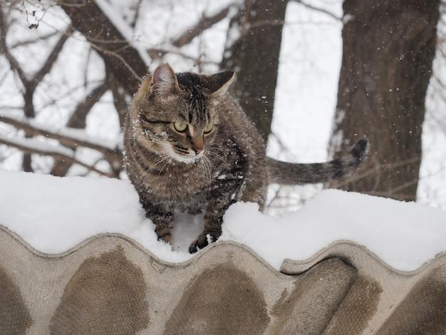 Das europäische kurzhaar steht im winter mit schnee auf dem mantel.