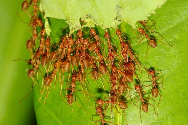 Das fangblatt der roten ameise der gruppe ist ein insektentier, um ein naturnest zu bauen