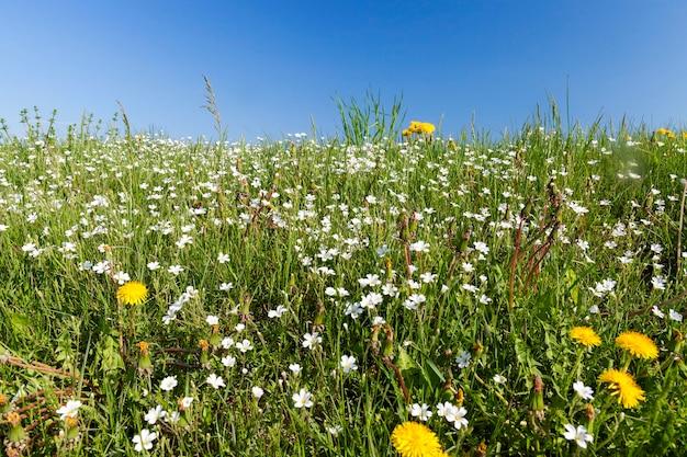 Das feld, auf dem im frühling des jahres eine vielzahl von wildblumen, löwenzahn, gänseblümchen und gras wachsen.