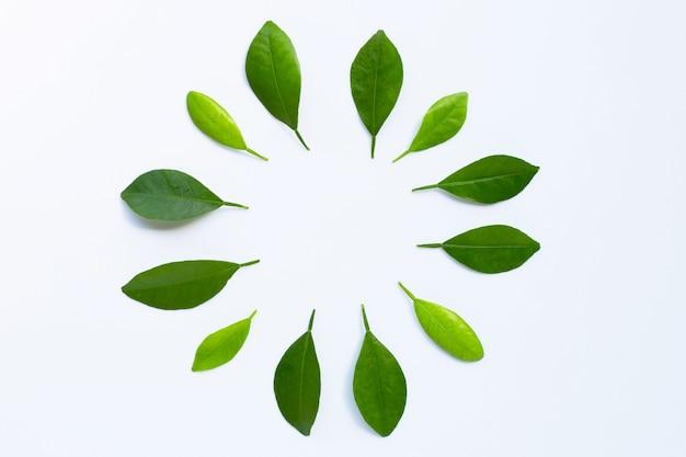 Das feld, das von der grünen zitrusfrucht gemacht wird, verlässt auf weißem hintergrund