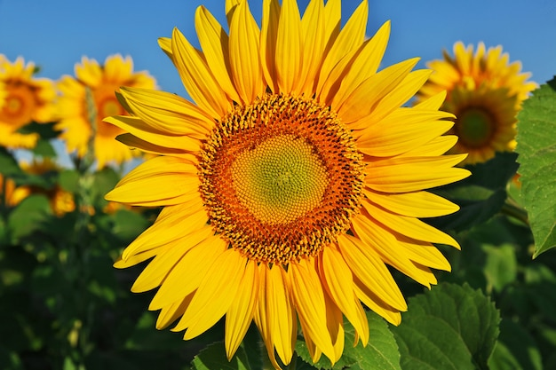 Das feld der sonnenblumen, bulgarien