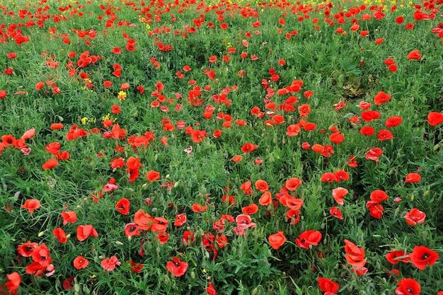 Das feld mit schönen leuchtend roten mohnblumen im frühjahr