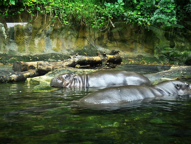 Das flusspferd im zoo, singapur