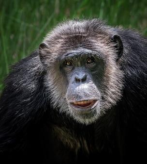 Das gesicht des schimpansen