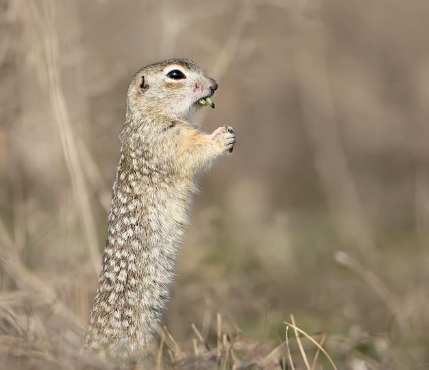 Das gesprenkelte grundeichhörnchen oder der gefleckte souslik (spermophilus suslicus) auf dem boden frisst ein gras.