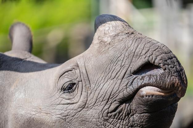 Das größere nashorn, das indische nashorn, ist die größte der nashornarten