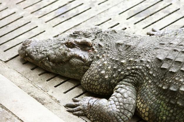 Das große krokodil auf dem bauernhof