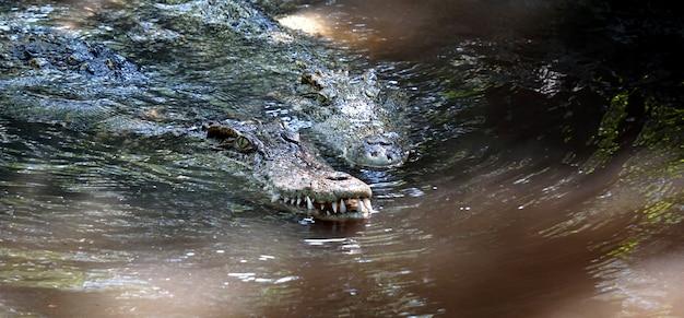 Das große krokodil im norden thailands.