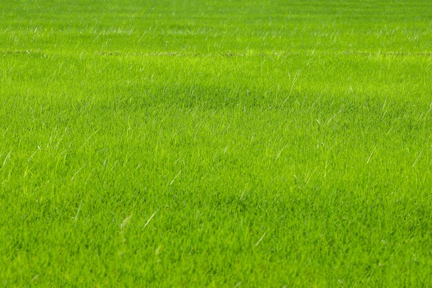 Das grüne babyreisfeld