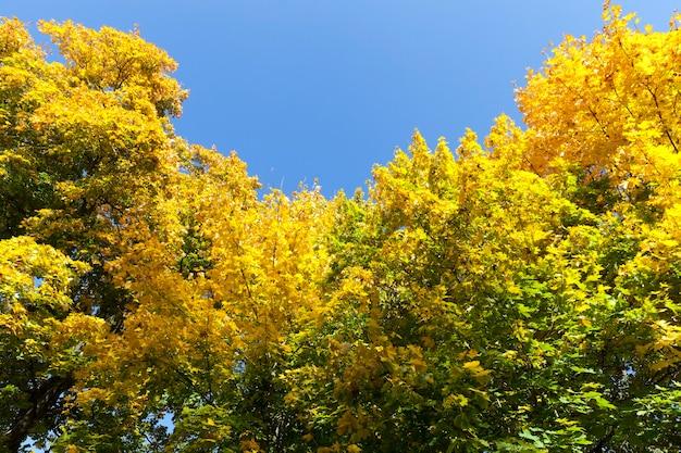 Das halb vergilbte laub des ahorns im früh- oder mittherbst vor dem blauen himmel der im wald wachsenden bäume