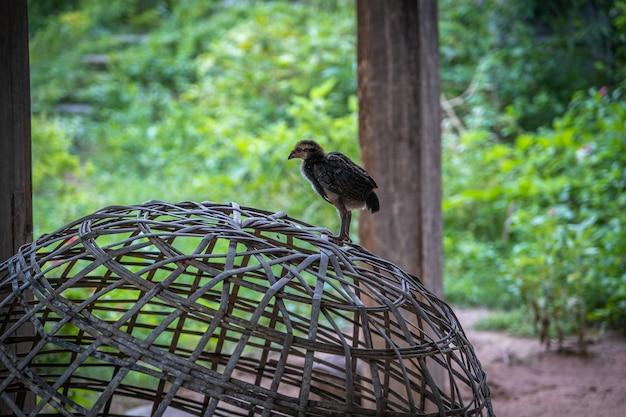 Das huhn, das auf einem ländlichen garten in der landschaft steht. schließen sie oben von einem huhn, das auf einem hinterhofschuppen mit hühnerstall steht.