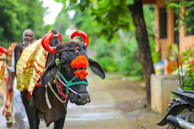 Das indische pola-festival pola ist ein festival, das bullen und ochsen respektiert und von bauern in maharashtra und in ganz indien gefeiert wird