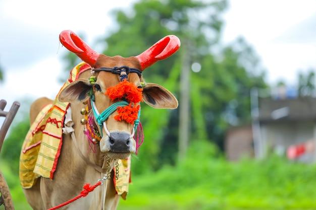 Das indische pola-festival pola ist ein festival, das bullen und ochsen respektiert