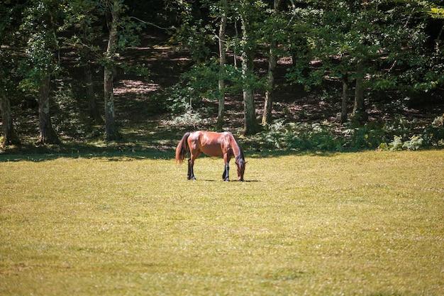 Das junge pferd weidet auf einer wiese. ein pferd auf einer weide.