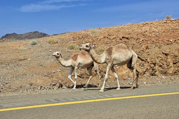Das kamel auf der straße in den bergen von saudi-arabien