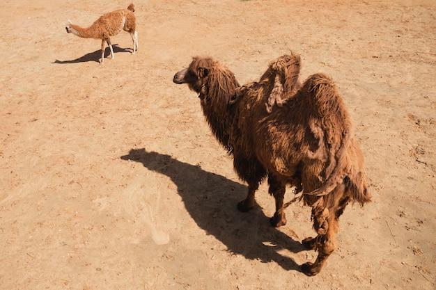 Das kamel geht mit dem alpaka durch den sand