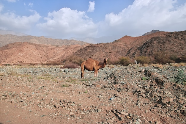 Das kamel im hejaz-gebirge, provinz mekka, saudi-arabien